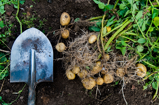Crop - Plant「Potatoes and shovel in garden dirt」:スマホ壁紙(14)