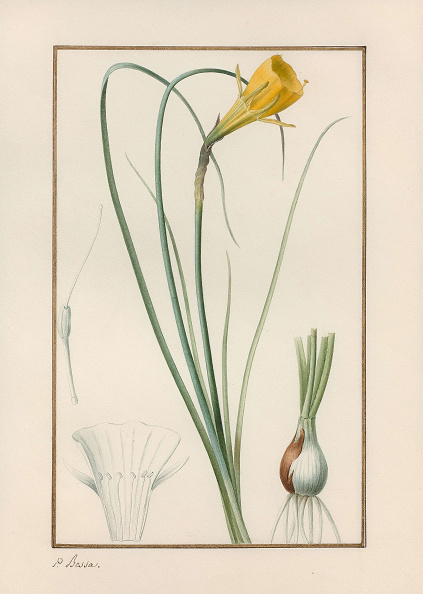 Botany「Petticoat Daffodil Narcissus Bulbocodium」:写真・画像(19)[壁紙.com]