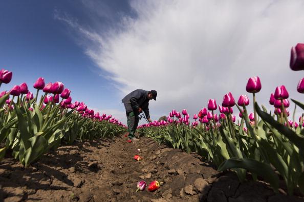 チューリップ「Tulip Fields Blossom Near Magdeburg」:写真・画像(17)[壁紙.com]