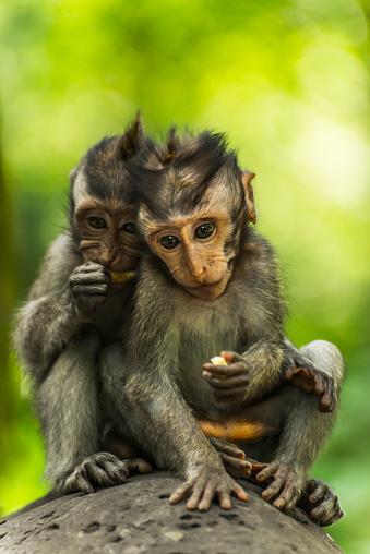 バリ島「Two monkeys sits closely together on a rock, Monkey Forest」:スマホ壁紙(19)