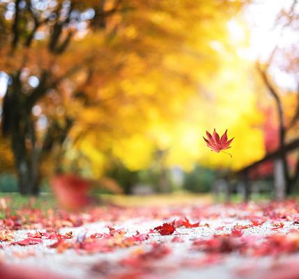 かえでの葉「秋の都市公園」:スマホ壁紙(16)
