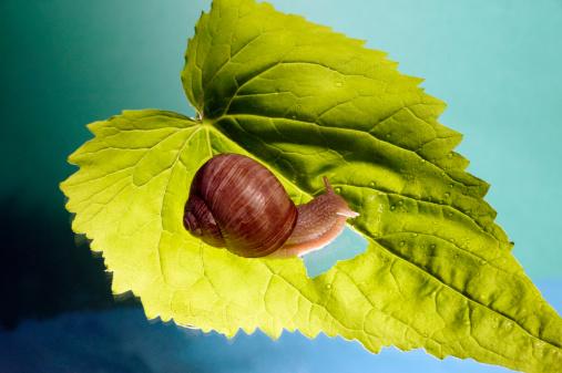 カタツムリ「Snail (Gastropoda) on leaf」:スマホ壁紙(6)