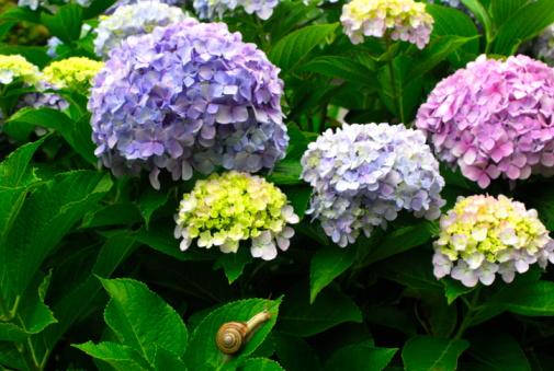 あじさい「Snail on leaf of hydrangea flowers, Hayama town, Kanagawa prefecture, Japan」:スマホ壁紙(13)