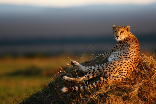 Animals In The Wild「Cheetah Laying on Termite Mound」:スマホ壁紙(5)