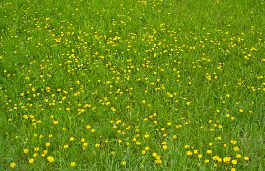 たんぽぽ「夏の草地」:スマホ壁紙(18)