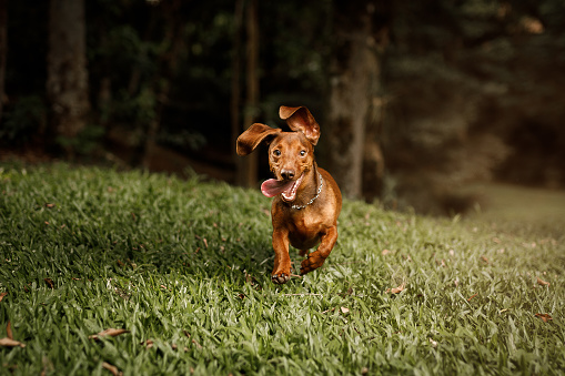 Pets「Cute dog running outside」:スマホ壁紙(5)