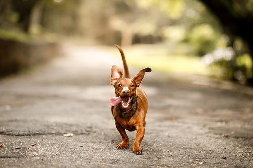 Dachshund「Cute dog running outside」:スマホ壁紙(15)