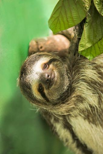 Three-toed Sloth「Three-toed Sloth」:スマホ壁紙(12)
