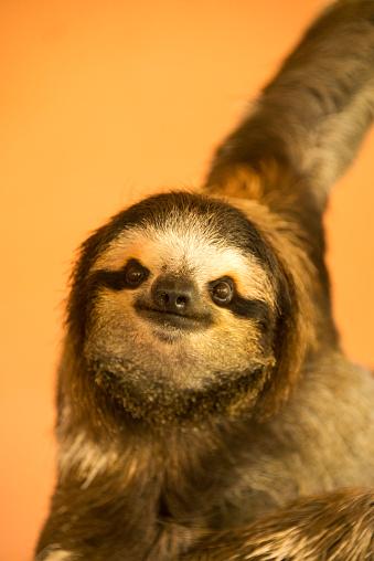 Three-toed Sloth「Three-toed Sloth」:スマホ壁紙(8)