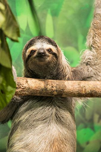 Three-toed Sloth「Three-toed Sloth」:スマホ壁紙(16)