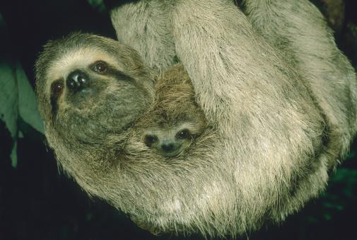 Three-toed Sloth「Three-toed sloth with baby (Bradypus variegatus) close-up」:スマホ壁紙(15)