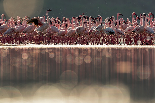 Shallow「Eye level, backlit view of Lesser Flamingos grouped tightly together on shallow water soda lake」:スマホ壁紙(15)