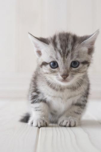 ショートヘア種の猫「American shorthair sitting」:スマホ壁紙(11)