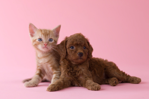 Kitten「American Shorthair Kitten and Toy Poodle Puppy」:スマホ壁紙(17)