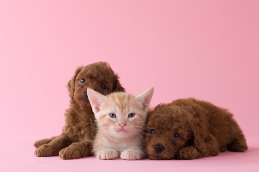 子猫「American Shorthair Kitten and Two Toy Poodle Puppies」:スマホ壁紙(19)