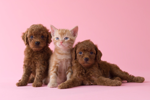 Kitten「American Shorthair Kitten and Two Toy Poodle Puppies」:スマホ壁紙(18)