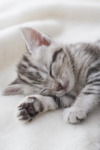 子猫「American shorthair sleeping」:スマホ壁紙(17)