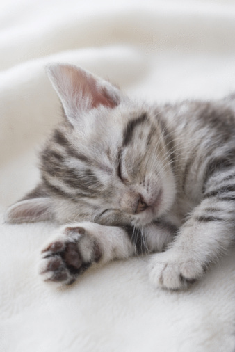 Kitten「American shorthair sleeping」:スマホ壁紙(11)