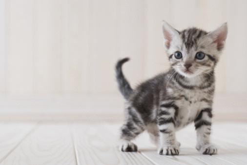 Kitten「American shorthair standing」:スマホ壁紙(6)
