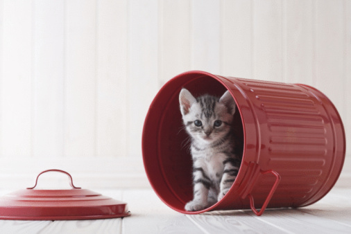 子猫「American shorthair in a bucket」:スマホ壁紙(8)