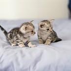 ショートヘア種の猫壁紙の画像(壁紙.com)