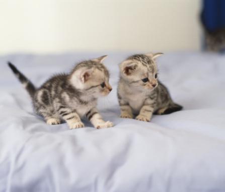 ショートヘア種の猫「American Shorthair」:スマホ壁紙(0)