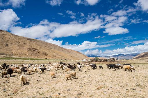 Himalayas「Herd of Cashmere (Pashmina) goats in Changthang, Ladakh」:スマホ壁紙(4)