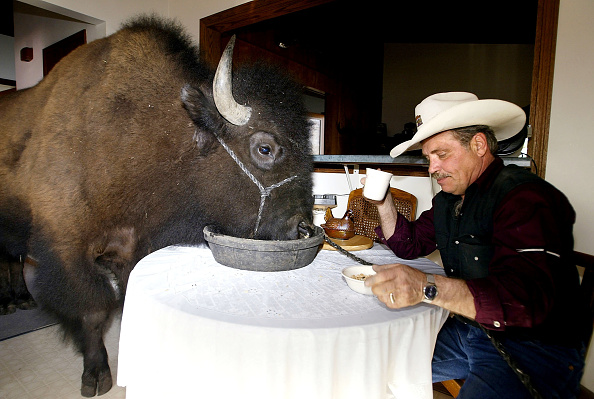 Wild Cattle「Bailey the Buffalo Spends Time in the House」:写真・画像(12)[壁紙.com]