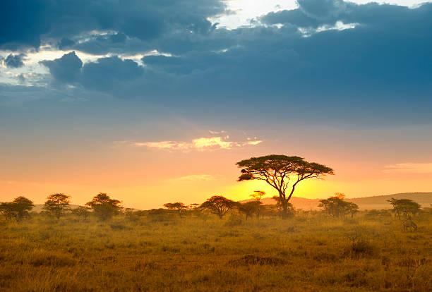 Acacias in the late afternoon light, Serengeti, Africa:スマホ壁紙(壁紙.com)