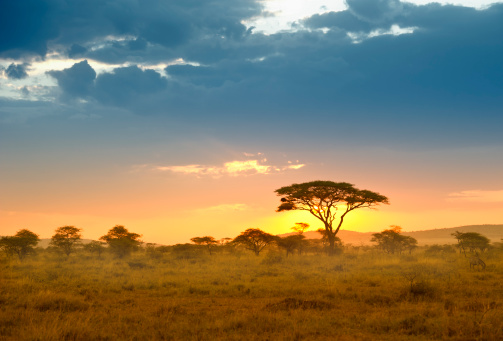 Safari「Acacias in the late afternoon light, Serengeti, Africa」:スマホ壁紙(15)