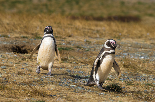 Magellan Penguin「Two Walking Magellan (Magellanic) Penguins」:スマホ壁紙(16)