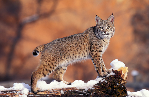 Animals Hunting「Bobcat, Felis rufus, Uinta National Forest, Utah, USA」:スマホ壁紙(6)