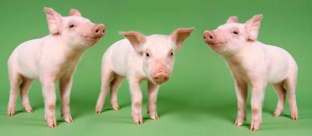 Three Animals「Studio Cut Out of Three Piglets Standing」:スマホ壁紙(19)