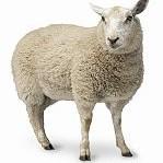 Sheep壁紙の画像(壁紙.com)