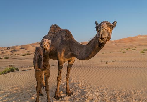 全身「A Dromedary, or Arabian Camel (Camelus dromedarius」:スマホ壁紙(17)