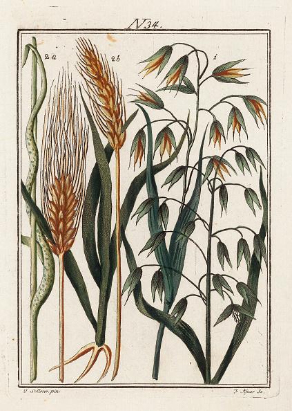 Barley「The Barley Plant. From Die Welt In Bildern. Band 3. Baumeister. Vienna. 1790.」:写真・画像(15)[壁紙.com]