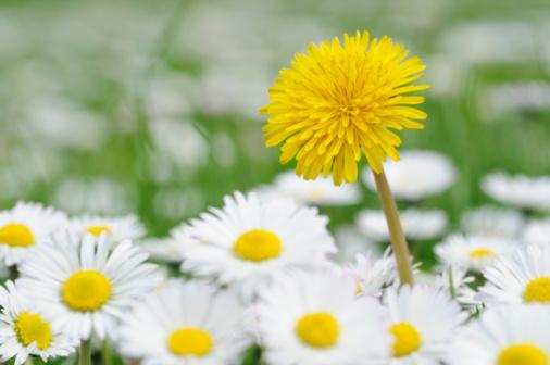 たんぽぽ「Daisy and Dandelion in meadow, spring.」:スマホ壁紙(19)