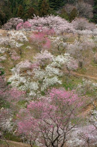 プラムの木「Yoshino plum-grove」:スマホ壁紙(16)