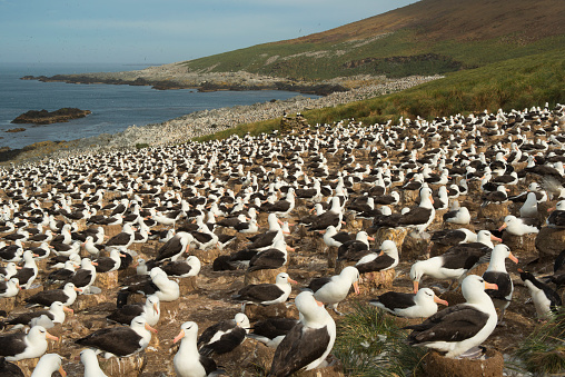 Falkland Islands「Massive Albatross Nesting Colony, Falkland Islands」:スマホ壁紙(16)