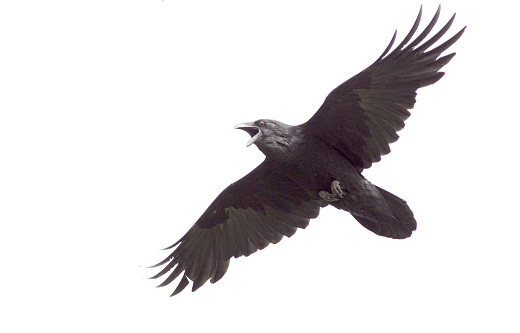Bird「Common Raven in Flight」:スマホ壁紙(12)