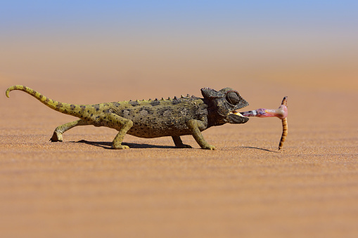 Animal Wildlife「desert chameleon catching a worm」:スマホ壁紙(10)