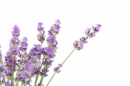 Lavender Color「fresh lavender」:スマホ壁紙(5)