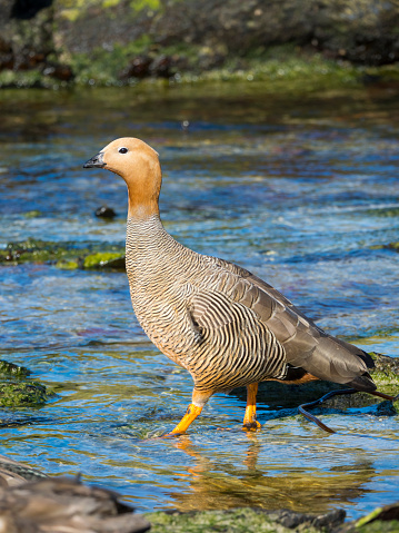 Falkland Islands「Ruddy-headed Goose (Chloephaga rubidiceps) wading in water, Carcass Island, Falkland Islands」:スマホ壁紙(4)