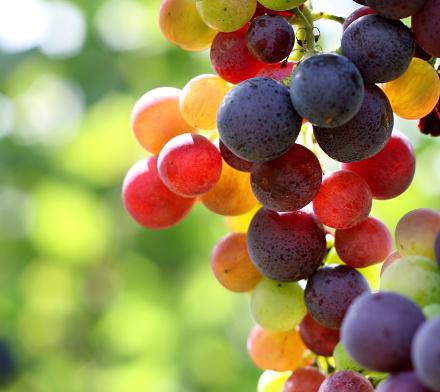 Grape「In focus shot of ripe grapes in a vineyard」:スマホ壁紙(6)