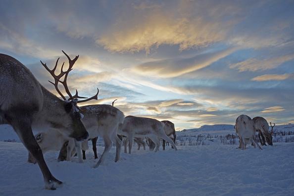 文化「Sami Reindeer Herding」:写真・画像(7)[壁紙.com]