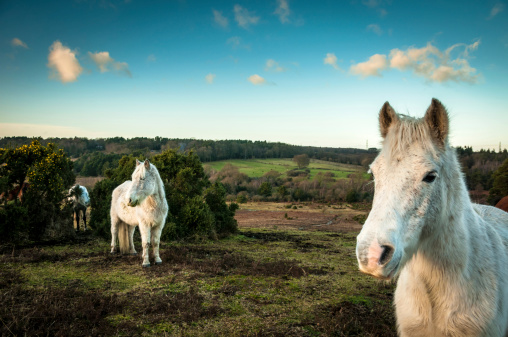 Long Hair「Wild White horses, The New Forest, England」:スマホ壁紙(17)