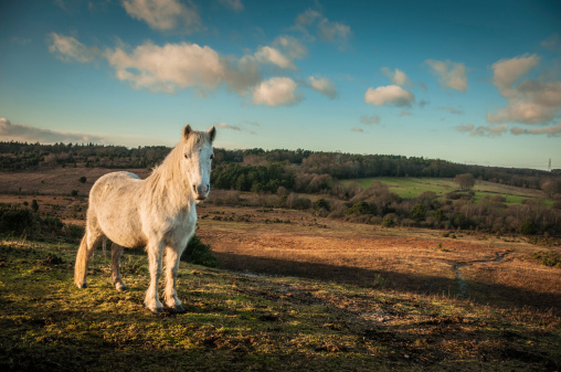 Horse「Wild White horse, The New Forest, England」:スマホ壁紙(1)