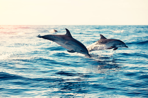 Animals In The Wild「Dolphins Jumping From The Sea」:スマホ壁紙(0)