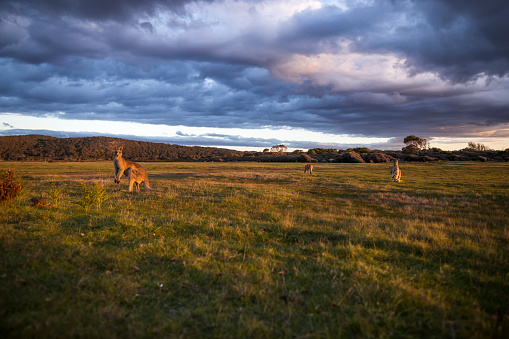 Kangaroo「A group of kangaroos graze the grassy meadows of Narawntapu National Park.」:スマホ壁紙(9)