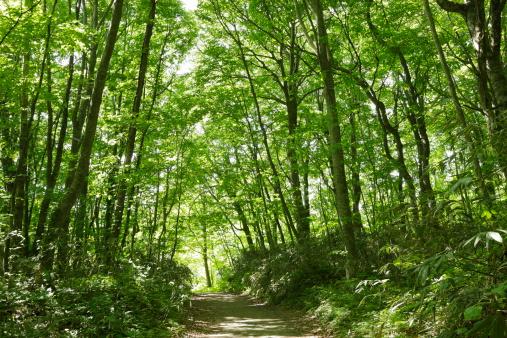 Beech Tree「Narrow path of beech forest in Shirakami Sanchi」:スマホ壁紙(3)